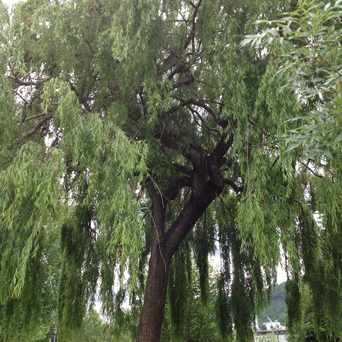 Photo of Willows In The Park in Cathedral Park, Portland