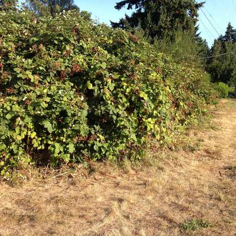 Photo of Wild Blackberry Bush in Victory Heights, Seattle