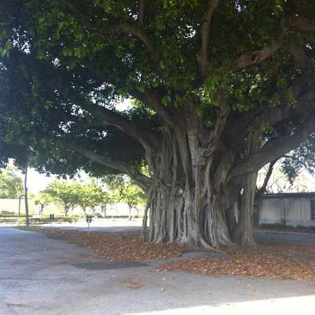 Photo of Mangrove Tree and Parking in Flagler Heights, Fort Lauderdale